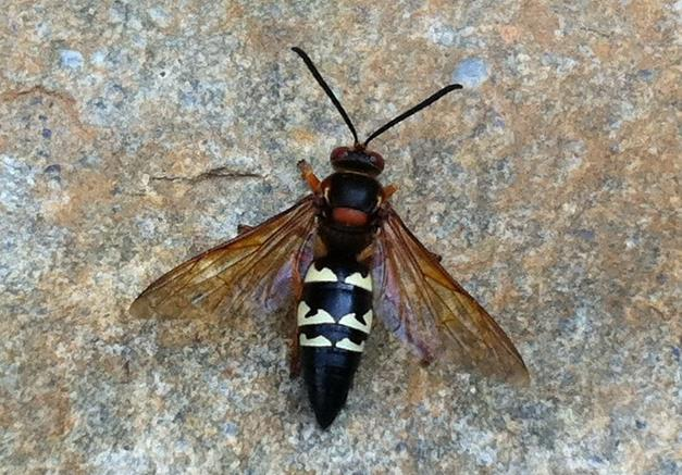 cicaida-killer-wasps