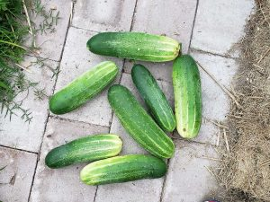 Cucumbers (Yeah!) Powdery Mildew (Boo!)