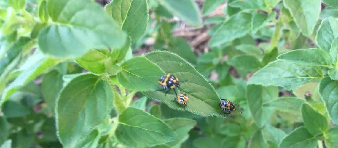 Harlequin-cabbage-bug