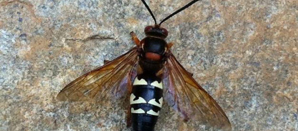 cicaida-killer-wasps